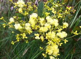 native plants adelaide 5 plants to brighten your garden good living
