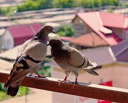 tauben auf dem balkon kostenloses foto sommer balkon tauben kostenloses bild auf
