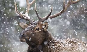Bears Montana Hunting And Fishing - montana fish wildlife parks apply for deer and elk by march 15