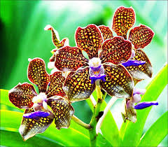 vanda orchids vanda orchids a gallery on flickr