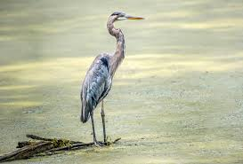 Heron Meaning by News Archives Chesapeake Bay Trust