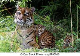 tiger and cubs stock image search photos and photo clip