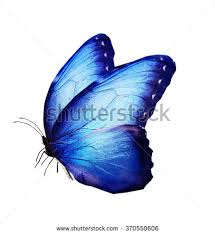 blue butterfly isolated on white stock illustration 132083303