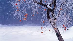 japanese persimmon tree in winter fukushima prefecture japan