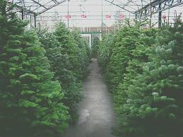 pick the perfect christmas tree at swansons nursery