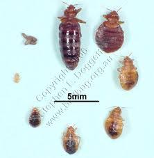 Infected Bed Bug Bite Bed Bugs And Diseases Pest Logic