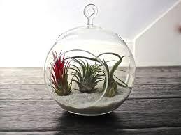 16 best 12 days of air plants images on pinterest plant design