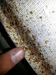 What Does Bed Bugs Eggs Look Like Mattresses Bed Bug Eggs How To Find Bed Bugs Bed Bug What