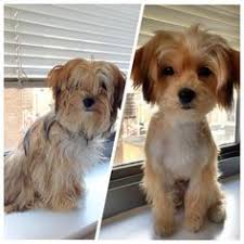 haircut for morkies adult morkie haircuts inspirational design on haircut design ideas