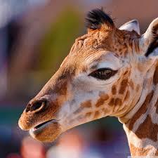 portrait of a baby giraffe hd desktop wallpaper for 4k ultra hd