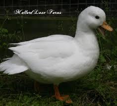 call ducks for sale mallard farms