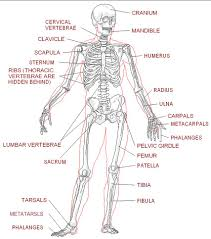 worksheets for anatomy google search try it out and think