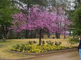 best 25 redbud trees ideas on pinterest redbud tree leaves