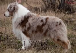 australian shepherd nbt pedigree australian shepherds australų aviganiai