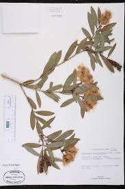 definition of native plants melaleuca quinquenervia species page isb atlas of florida plants