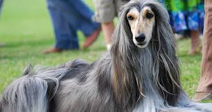 afghan hound walking get to know the afghan hound dogbuddy blog