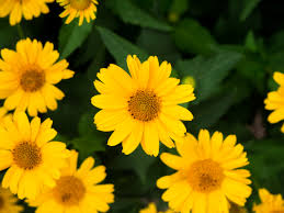 yellow flowers yellow flowers and leaves mmt