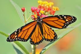 monarch butterfly louis zoo