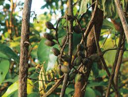 edible fruits sp gnetaceae with edible fruits karnataka india