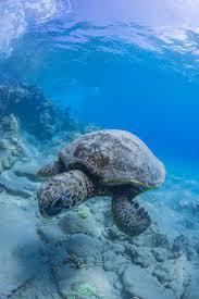 Ringed Map Turtle 1607 Best Turtles Images On Pinterest Turtles Marine Life And