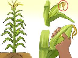 Make A Vegetable Garden by How To Make A Small Vegetable Garden With Pictures Wikihow
