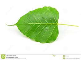sacred fig leaf ficus religiosa l pipal tree bohhi tree bo