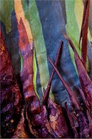 24 best rainbow trees images on pinterest rainbow eucalyptus