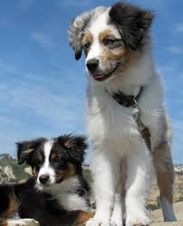 australian shepherd and golden retriever hope and jefferson the australian shepherds puppies daily puppy