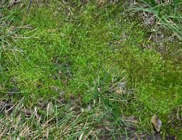 Sweet Flag Grass Master Gardener Moss Is Red Flag For Poor Lawn Conditions