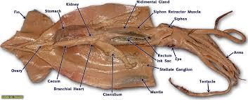 human anatomy squid anatomy diagram and functions squid anatomy