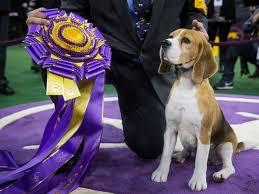 affenpinscher westminster 2015 winner of 139th westminster dog show