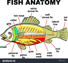 fish anatomy vector illustration stock vector 308252246