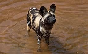 safari ltd african wild dog african wild dog zoos victoria