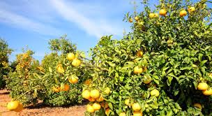 solar powered irrigation for citrus trees in morocco