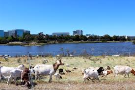 Get Your Goat Rentals by Faq Rent A Goat