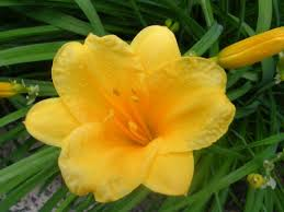 stella d oro daylily how to keep stella de oro daylilies blooming all season dengarden