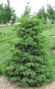 sustainable landscape consider a christmas tree for your yard