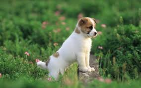 desktop pictures of cute puppy dogs wallpaper lifeline puppy