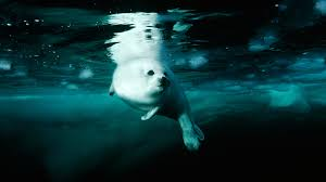 harp seal facts and pictures national geographic kids