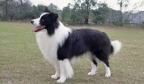 8 week old australian shepherd weight border collie dog breed information