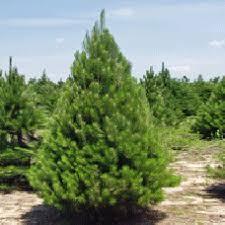 top 17 pine trees items daxushequ