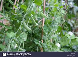 growing snow peas stock photos u0026 growing snow peas stock images