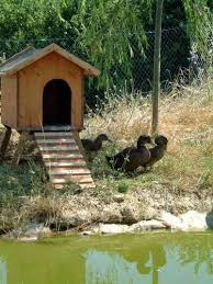 where can i buy duck duck house with r and ducks lowres normal buy rent sell boston