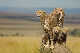 cheetah desktop backgrounds wallpaperpulse