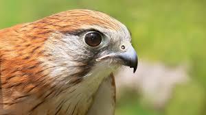 falcons protect young in backyard michigan wildlife hd youtube