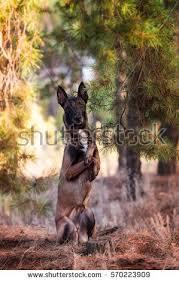 belgian shepherd breeders south africa sitting belgian shepherd malinois puppies stock images royalty