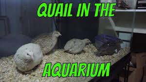 quail in the aquarium youtube