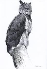wildlifeart life studies harpy eagle study in nürnberg zoo