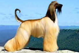 afghan hound black hair afghan hound dog breed info characteristics traits personality
