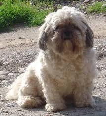 your lhasa apso feeding guide sharda bakers dog world